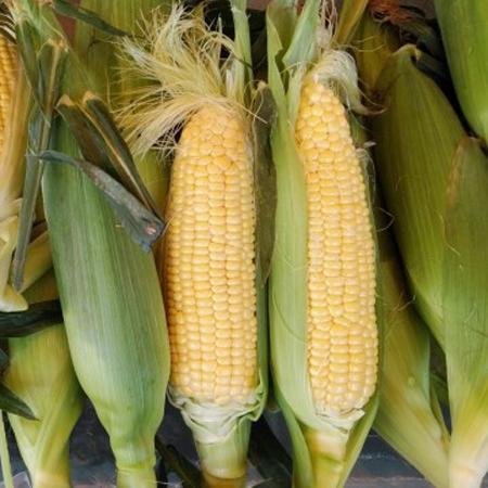 """米産トウモロコシ「250万トン追加輸入」の""""犠牲""""はどこが負うのか?"""