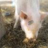 """猛威の「豚コレラ」、中国では""""悪質ウイルス""""で国内の3分の1が殺処分に!"""